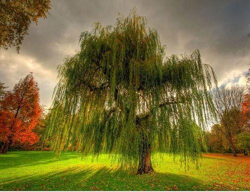 Гороскоп друидов дерево Верба     Зодиак кельтов. Люди рожденные под знаком Вербы (или Ивы) с 1 по 10 марта и с 3 по 12 сентября