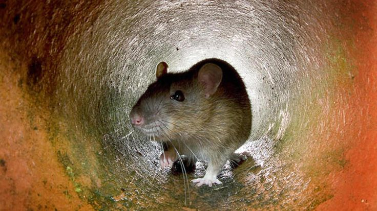Fordham University graduate student Matthew Combs studies the DNA of New York City's rats. He found that rats living uptown are genetically distinct from rats living downtown.