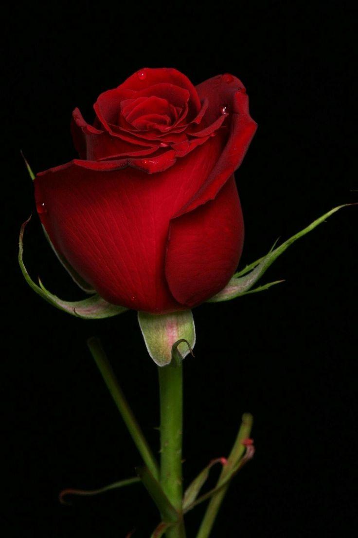 49 besten rose Bilder auf Pinterest | Rote rosen, Schöne blumen und ...