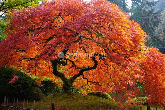 Erable du Japon - Acer palmatum - Petit arbre ou grand arbuste, il est possible d'hésiter. Ce qui, en revanche, met tout le monde d'accord lorsque que l'on évoque les érables du Japon, est leur élégance à nulle autre pareille et la splendeur incomparable de leur coloration automnale. L'érable du Japon sera bien le joyau de votre jardin... à vous offrir sans attendre !