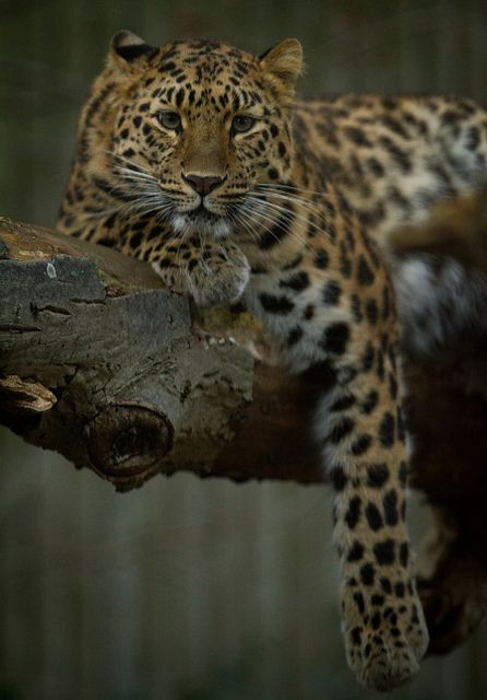Amur Leopard. Critically endangered. Learn more about them and meet a big handsome male at the Franklin Park Zoo in Boston!