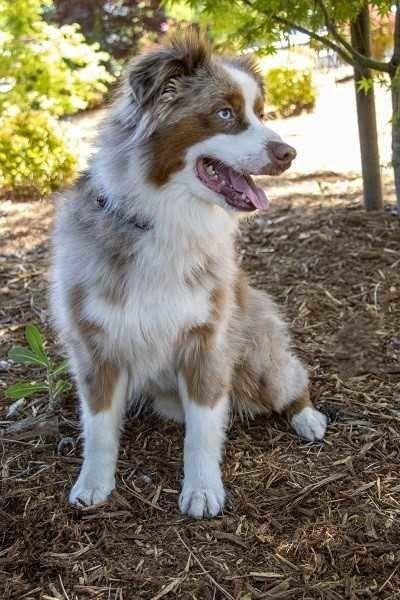 Australian Shepherd Dog For Adoption In Grass Valley California Charlie In Grass Valley Californ Australian Shepherd Australian Shepherd Dogs Dog Adoption