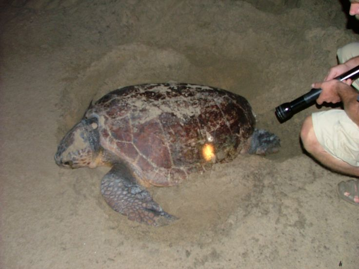 St Lucia, midnight turtle spotting beach adventure