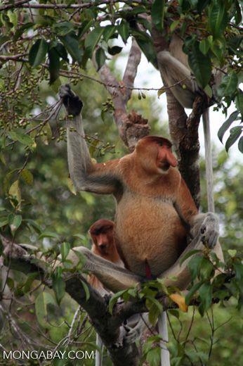 Domiant male Proboscis Monkey with females in tree eating fruit (Kalimantan, Borneo – Indonesian Borneo)
