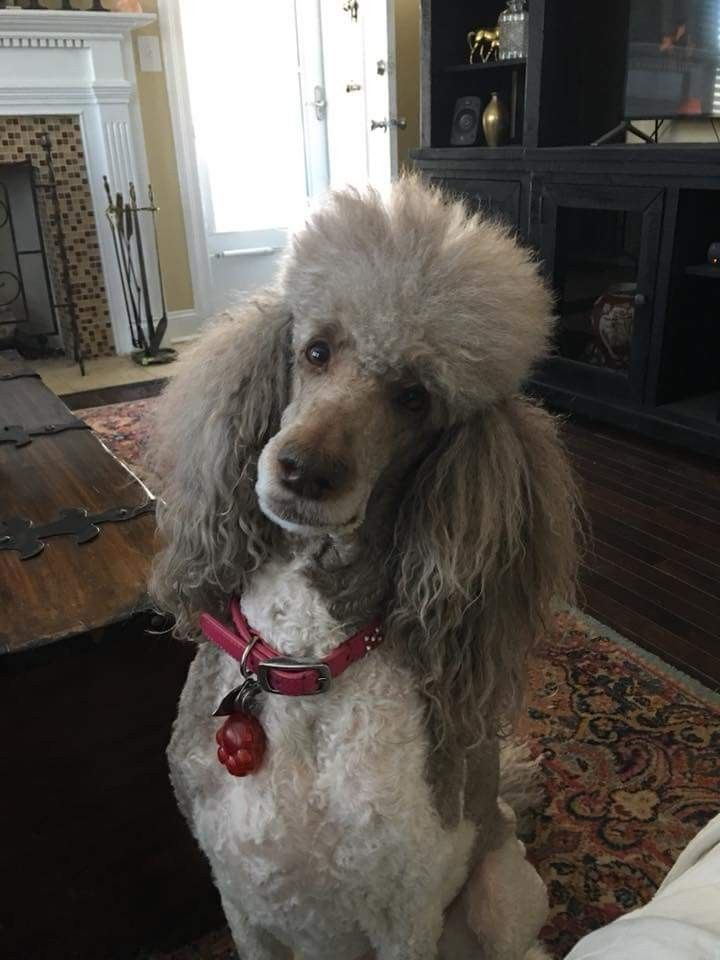 Pin By Kathleen Taggart On Poodle Goldendoodle Poodle Reasons