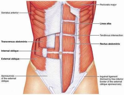 anterior+view+of+the+muscles+of+abdominal+wall+images | Rectus abdominisExtrernal Oblique (outer)Internal Oblique (middle ...