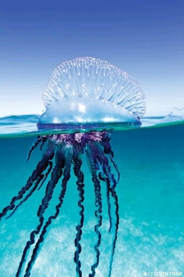 Portuguese Man O'War.  These are always all over the beach where my grandparents live.