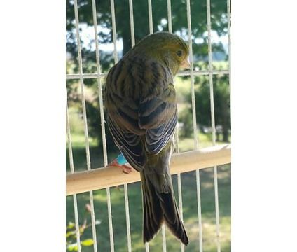 Spanish Timbrado Canary | Male