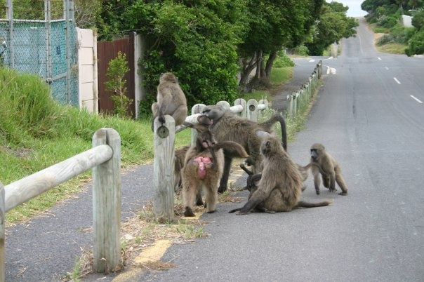Baboons, Kommetjie, Cape Peninsula, South AfricaWild Animal, Beloved Country, South Africa, Capes Town, Capes Peninsula, Beautiful Africa, Stunning South, Beautiful Capes