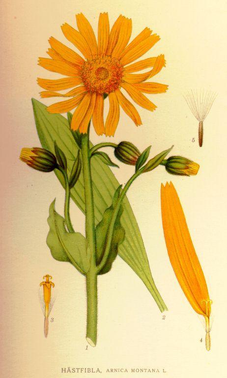 Arnica montana L. - Bilder ur Nordens Flora [Imágenes de la Flora de la región nórdica]/ 1917-1926