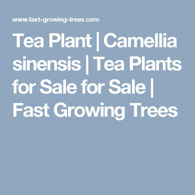 Tea Plant | Camellia sinensis | Tea Plants for Sale for Sale | Fast Growing Trees