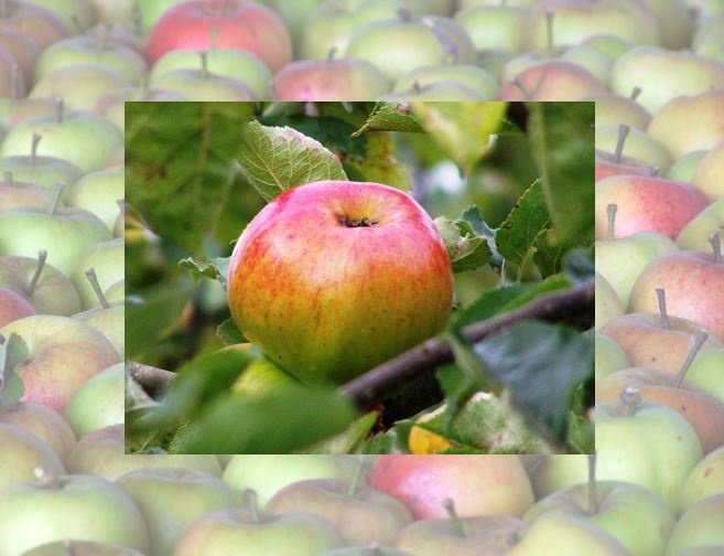 Calendar pix - October 2012 A good orchard is a boon to any farm, and this Bramley apple, with Cox's as the background, looks so luscious.