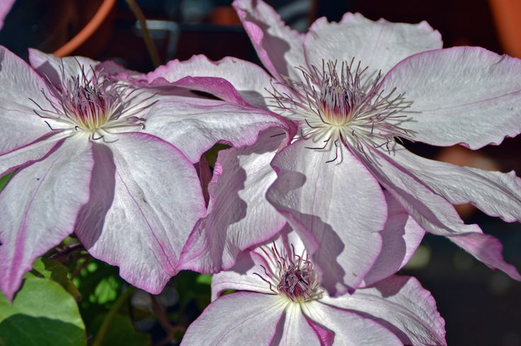 Been looking for this for ages - Omoshiro Clematis - 10 May 15