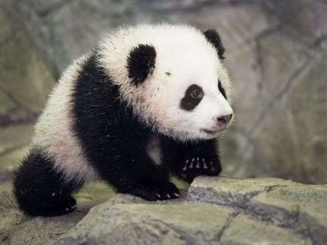 Baby panda Bao Bao meets the press at National Zoo