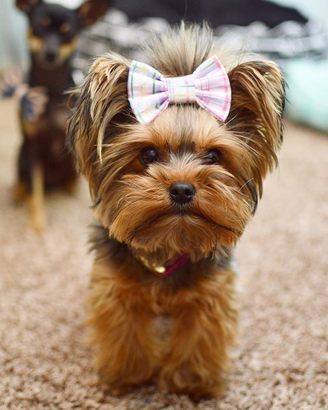 Beautiful Terrier Bow Adorable Dog - 52964a23c4b11ae3866f74377a6051da--bow-bow-bow-ties  Best Photo Reference_77574  .jpg