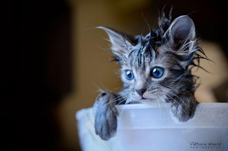 flea bath by Viktoria Haack, via 500px: Cats, Flea Bath, Animals, Kitten, Fleas, Kitties, Viktoria Haack, Bath Time