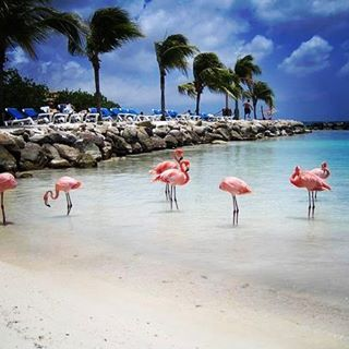 Visit flamingo beach in Aruba for just £577pp in top rated 4* hotel bed & breakfast including flights and transfers �� #holidayhack #holidays #honeymoon #hotelroom #hotellife #flamingo #flamingeos #flamingobeach #aruba #aruba���� #travel #travelling #travelgram #traveltips #travelhacks #luxury #luxurygirl #luxurylife #luxurytravel #luxurytravel #celebstyle #caribbean #celebritystyle #friyay #instagood #instagram http://tipsrazzi.com/ipost/1502986007090727166/?code=BTbrc9vBoj-