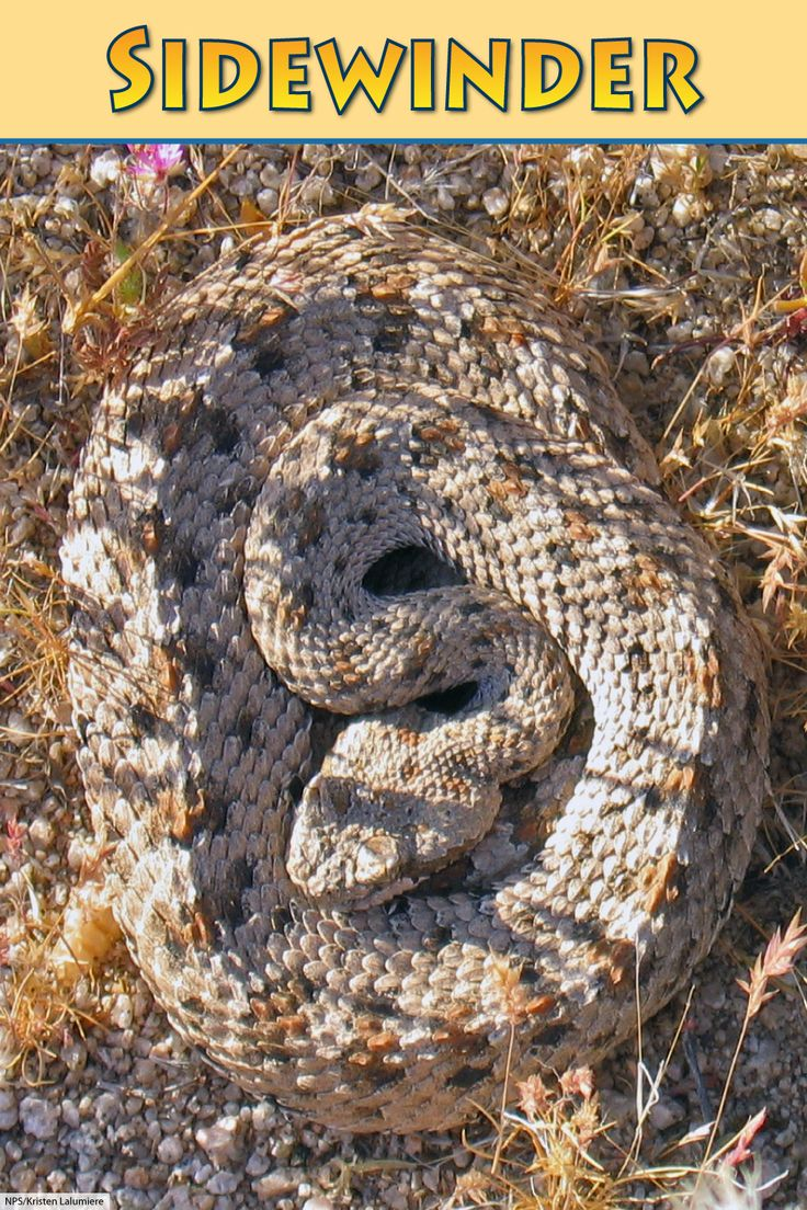 Sidewinder Snake Facts Desert Animal With A Distinctive