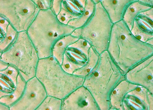 Spiderwort Leaf | Microscopic Art | Microscopic images ...