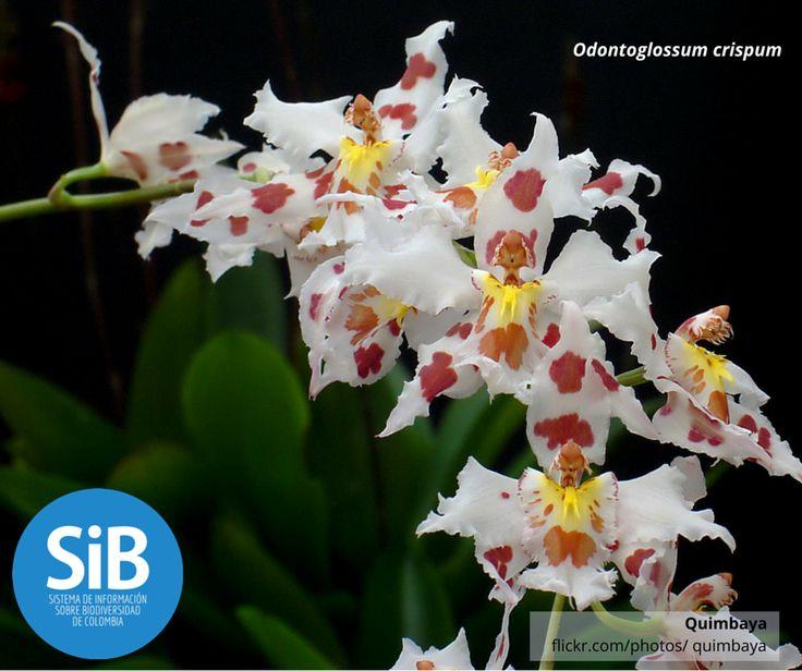 La orquídea 'Odontoglossum crispum' está en peligro de extinción como muchas de estas flores que abundan en Colombia.  Con 1,572 especies de orquídea, somos un país potencia de esta planta. Te invitamos a consultar el Plan de conservación del Ministerio de Ambiente y Desarrollo Sostenible para que conozcas cómo estamos cuidando nuestra #Biodiversidad https://goo.gl/FpJt9t