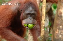 Southern Bornean orangutan female with mangoes in mouth