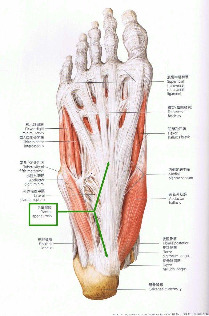761 best Anatomy images on Pinterest   Anatomy, Anatomy reference ...