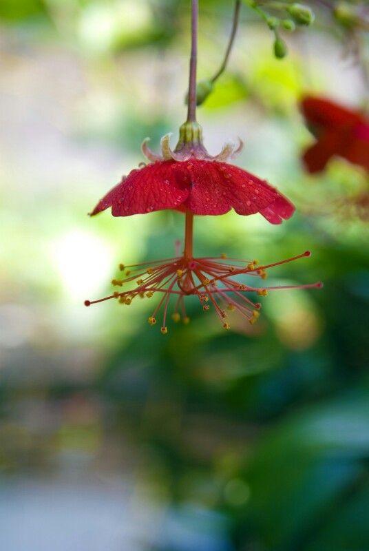 hibiscus grandidieri