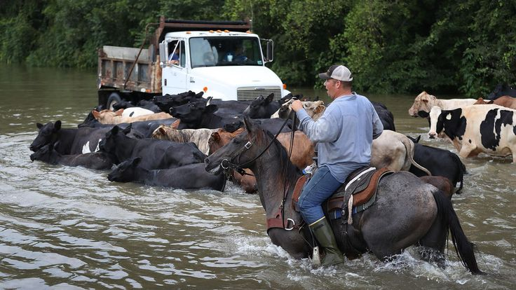 Mold, spiders, looting: Amid deadly Louisiana floods, heartbreaking reality emerges:  Cattle are driven through a flooded road as they are herded to trucks to be brought to dry land on Aug. 16, 2016, in Sorrento, Louisiana.