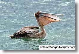 Brown Pelican http://birds-of-tobago.blogspot.com/2013/10/brown-pelican.html  #Brown Pelican #pelican #coastal #seabirds #sea birds #birds #Tobago #West Indies #Caribbean