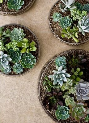 Thirsting for Succulents  :  wedding bloomington decor flowers Pony pony