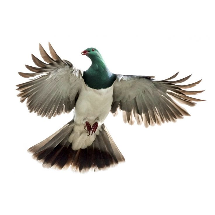 kereru flying - Google Search