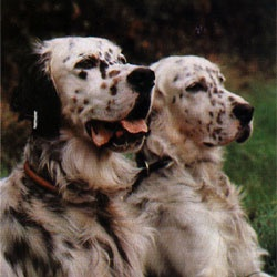 English Setters ~ Classic Look