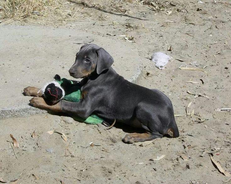 Blue Doberman puppy named Bear