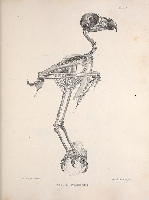 Ketupa javanensis now called Bubo ketupu by BioDivLibrary on Flickr.  Osteologia avium, or, A sketch of the osteology of birds /.[Wellington] :Published by R. Hobson, Wellington, Salop,1858-1875.