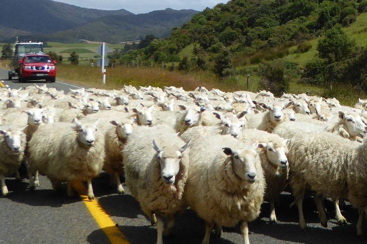 Von Mitte Dezember 2014 bis Ende Januar 2015 bin ich in Neuseeland unterwegs gewesen.  Als grandiosen Abschluss eines Sabbaticals habe ich mit einem Mietwagen alleine 6 Wochen die Nord- und Südinsel bereist und endlose Strände, atemberaubende Landschaften, traumhafte Seen, Regenwald, Maori-Kultur, Kiwis & Kauris, Vulkane, Pinguine und heiße Quellen, unzählbare Schafe und unglaublich nette Menschen erlebt..