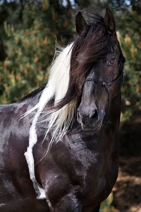 Pretty paint or pinto horse - by Marlinda Fotografie