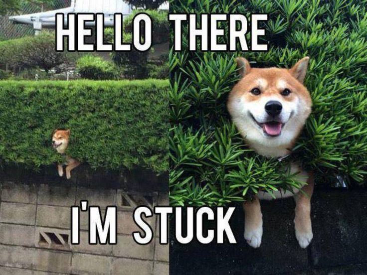 Funny dog stuck in a hedge - meme - http://jokideo.com/funny-dog-stuck-in-a-hedge-meme/