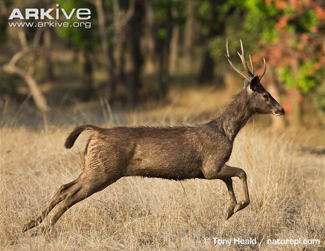 Male sambar deer running