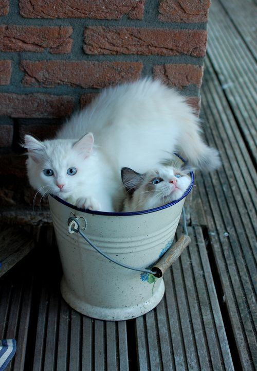 Two white cats in a bucket. #cat http://annabelchaffer.com/: Buckets Lists, Kitty Cat, Animal Photography, Funny Cat, Tiny Spaces, Kittens, Barrels Of Monkey, Tins Cans, White Cat