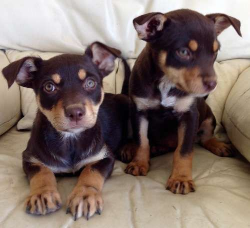 These exquisite, intelligent and active well bred puppies are now 10 weeks old are available for adoption . Vacc/ M/chipped, vet checked. - https://www.pups4sale.com.au/dog-breed/450/Kelpie-(Australian).html