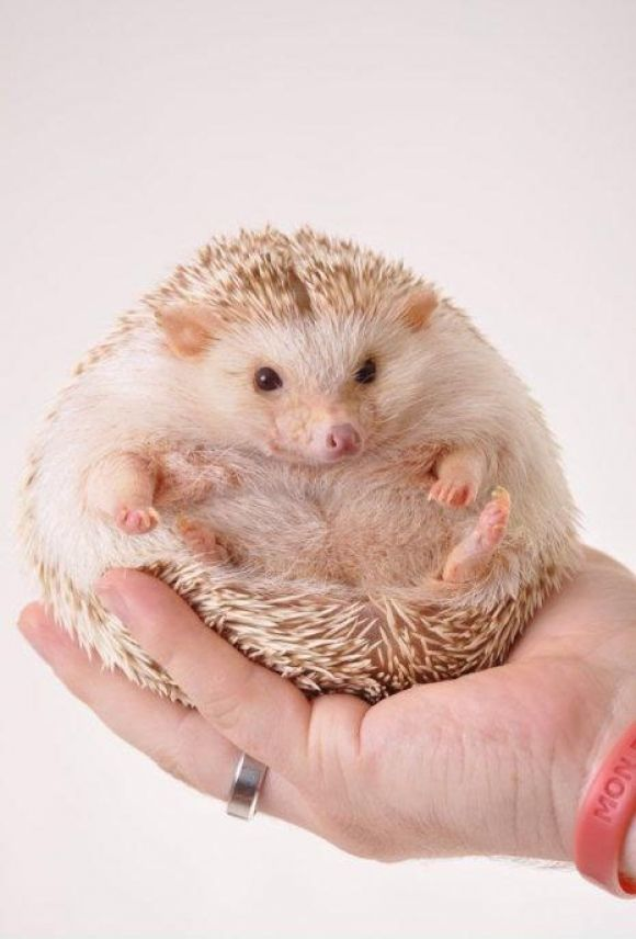 cute animals fat hedgehog cutness wild wildlife species planet earth nature pics pictures, photos images