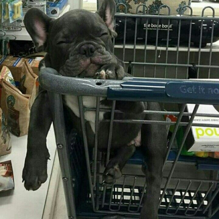 This little French Bulldog Puppy is bored with shopping