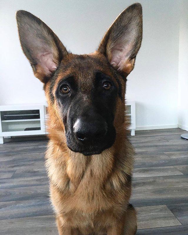 My What Big Ears You Have Cathrine Aasland Germanshepherd