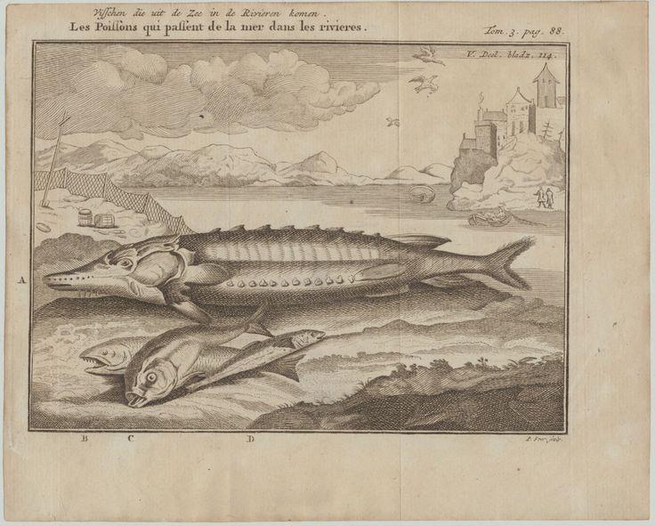 STÖR KAVIAR FISCHE Original Kupferstich um 1750 Fluss Fischerei fischen angeln