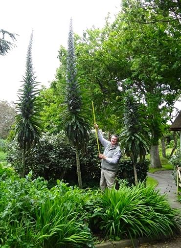 Roger measuring the Echium this year they were an amazing 18 foot tall!