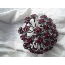 Flor De Cera (( (hoya Publicalix Red Button ))belissima Flor