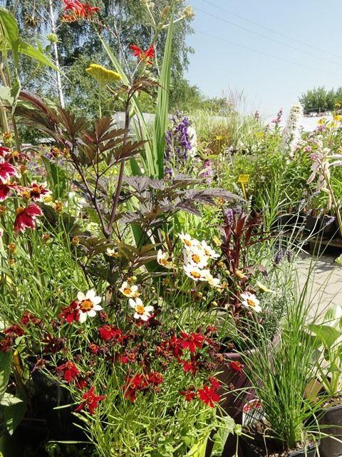 Kwitnące byliny - jeżówka, pluskwica, hosty.