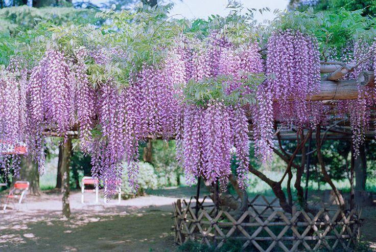 Wisteria flowers, usijima 牛島の藤