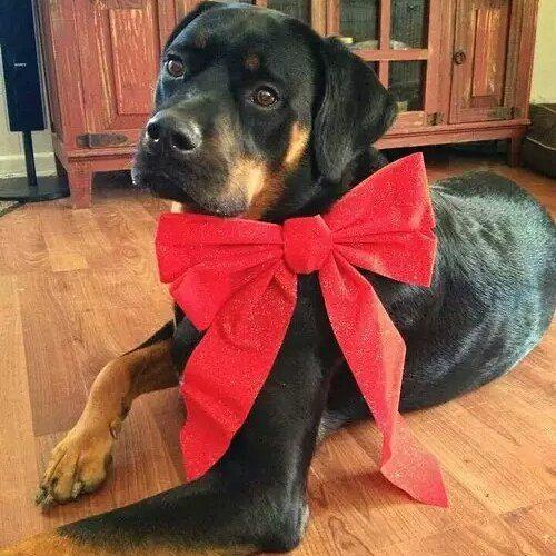 Birthday gift...  #collarbuddies #rottweiler #rottweikers #rottweilersofinstagram #rottweilerclub#rottweilerfans#rottweilerlove#rottweilerpuppy #rottweilerofinstagram #instarottweiler #rottie #rott #dogsofinstagram #rottweilerdog #rottstagram #rottweilerlovers #rottweilasinc #rottweilerbreed #ilovemydog #rottweilersofinstagram