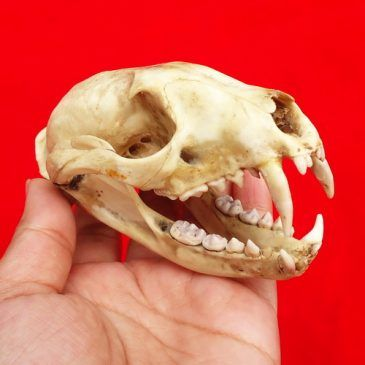 Tengkorak Kepala Macan Kumbang Lengkap Gigi Taringnya